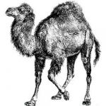 perl_camello